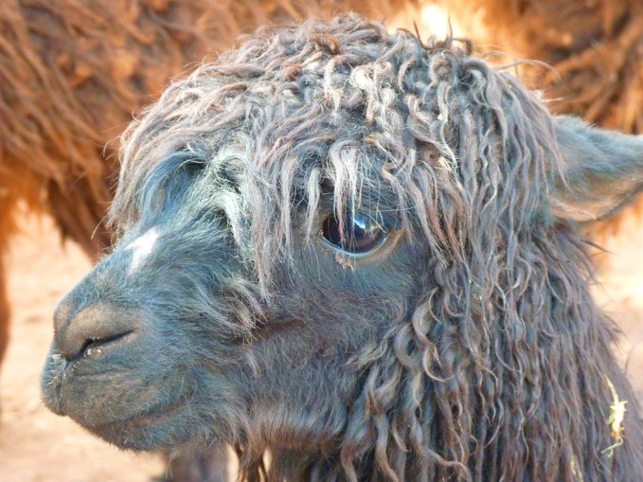 Was ist Alpaka